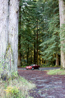 Redwoods in northern California